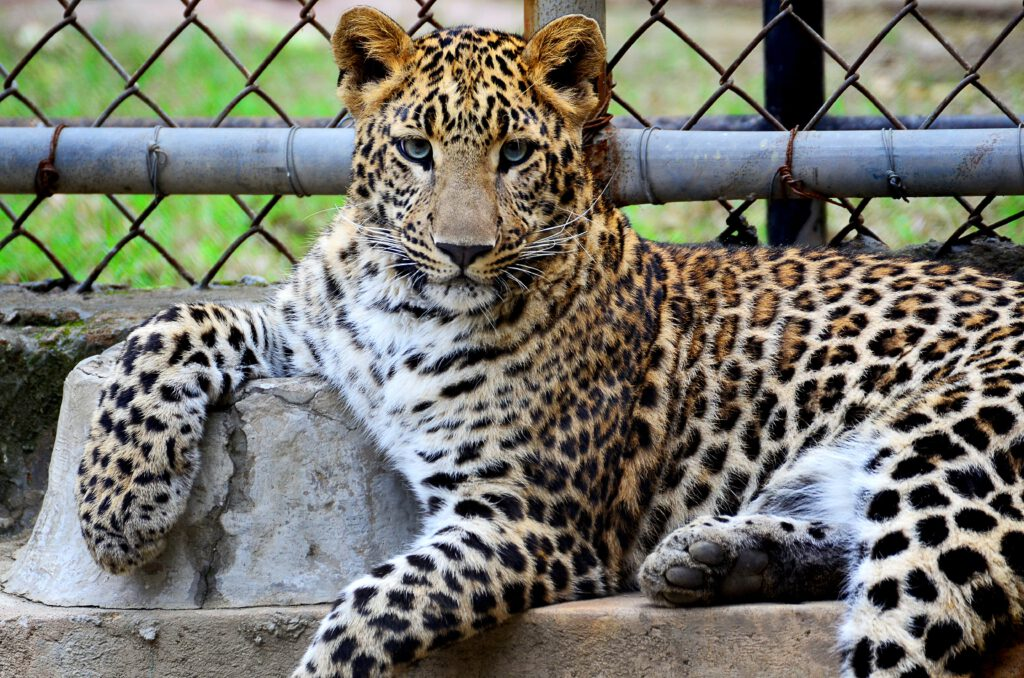 Bild von Wildkatze vor im Käfig